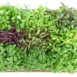The Health Benefits of Microgreens
